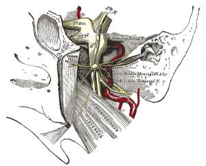 Tensor 2: Zwój uszny lewy i jego gałęzie. Mięsień napinacz podniebienia miękkiego zaznaczony jako Tensor veli palatini (źródło: Wikipedia).